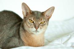 Абиссинский кот Близкий поднимающий вверх портрет голубого абиссинского женского кота, сидя на белом одеяле Милый кот на белой пр стоковое изображение rf
