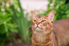 Абиссинский кот в природе Стоковая Фотография