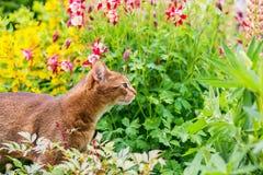 Абиссинский кот в цветках Стоковая Фотография