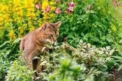 Абиссинский кот в цветках Стоковые Изображения