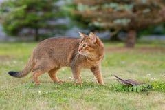 Абиссинский кот охотится птица на открытом воздухе Стоковые Изображения RF