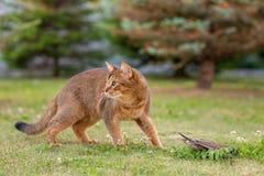 Абиссинский кот охотится птица Стоковая Фотография RF