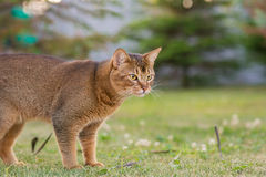 Абиссинский кот охотится птица Стоковые Изображения