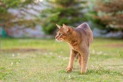 Абиссинский кот охотится птица Стоковая Фотография