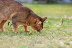 Абиссинский кот охотится птица Стоковые Изображения RF
