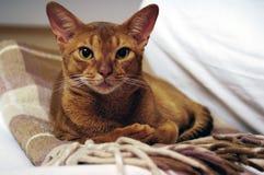 абиссинский кот Стоковые Изображения RF