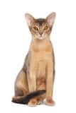 абиссинский кот Стоковое Изображение RF