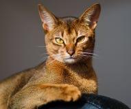 абиссинский кот Стоковая Фотография
