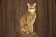 Абиссинский кот Стоковое фото RF