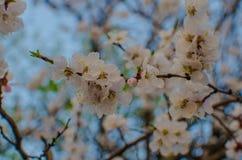 Абрикосы весны цветя Стоковая Фотография