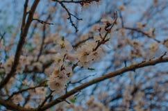 Абрикосы весны цветя Стоковое Фото