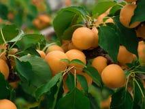 Абрикосы в саде Стоковые Фотографии RF