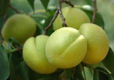 Абрикосы растя на дереве абрикоса стоковые фотографии rf