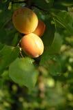абрикосы Стоковое фото RF