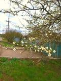 Абрикос дерева вершины в предыдущей весне Молодые, все еще салатовые листья Цветки на ветвях отчасти в бутонах, и отчасти Стоковое фото RF