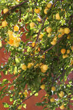 абрикос после полудня солнечный Стоковые Изображения RF