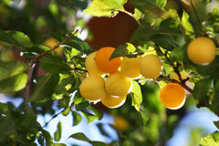 абрикос после полудня солнечный стоковая фотография rf