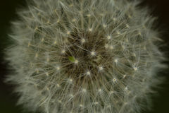 Абстрактная голова семени одуванчика макроса Стоковые Изображения RF