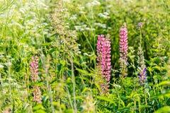Абстрактная естественная предпосылка с травой и цветками во время захода солнца Стоковая Фотография RF
