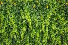 Абстрактная зеленая стена завода плюща или стены для предпосылки Стоковое фото RF