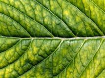 абстрактная зеленая текстура листьев Стоковое Фото