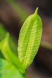 Абстрактная зеленая текстура лист для предпосылки Стоковое фото RF