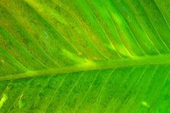 Абстрактная зеленая текстура лист для предпосылки Стоковая Фотография