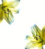 абстрактная красивейшая рамка lilly Стоковое Изображение RF