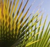 абстрактная ладонь листьев предпосылки Стоковая Фотография
