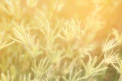 Абстрактная предпосылка мягкого и запачканного злаковика травы пальца Swallen стоковые фото