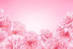 абстрактная предпосылка цветет пинк Стоковые Изображения