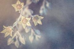 Абстрактная предпосылка цветка Розы пустыни Стоковые Фотографии RF