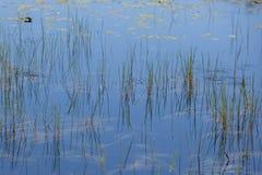Абстрактная предпосылка ландшафта: Отраженные тростники на воде стоковое изображение