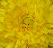Абстрактная предпосылка желтых лепестков цветка Стоковое Изображение