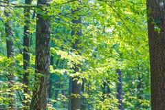 Абстрактная предпосылка зеленых ветвей дерева Стоковое Изображение