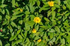 Абстрактная предпосылка природы листьев зеленого цвета и желтых цветков Стоковое Изображение