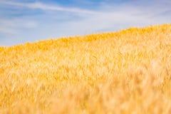 абстрактная пшеница предпосылки Луг и пищевой ингредиент лета Стоковые Фотографии RF