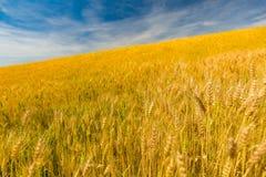 абстрактная пшеница предпосылки Луг и пищевой ингредиент лета Стоковое Фото
