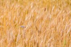 абстрактная пшеница предпосылки Луг и пищевой ингредиент лета Стоковые Изображения