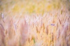 абстрактная пшеница предпосылки Луг и пищевой ингредиент лета Стоковые Фото