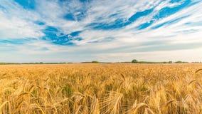абстрактная пшеница предпосылки Луг и пищевой ингредиент лета Стоковая Фотография RF