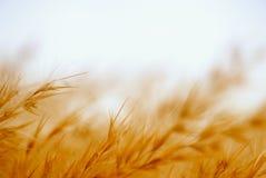 Абстрактная пшеница Стоковые Изображения
