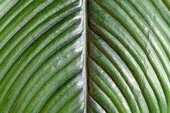 Абстрактная текстура больших зеленых лист фикуса Стоковая Фотография