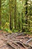Абстрактная текстура корней дерева в тропическом лесе Lynn может Стоковое Изображение