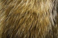 абстрактная текстура шерсти конца предпосылки вверх Мех собаки енота Стоковая Фотография