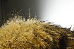 абстрактная текстура шерсти конца предпосылки вверх Мех собаки енота Стоковые Фото