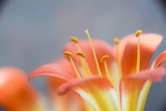 Абстрактная флористическая предпосылка макроса лепестков и тычинок Стоковые Изображения