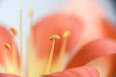 Абстрактная флористическая предпосылка макроса лепестков и тычинок Стоковые Фото