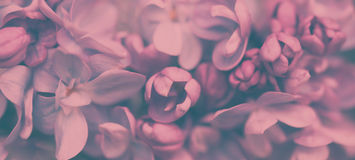 Абстрактная флористическая предпосылка сирени весны Стоковые Изображения