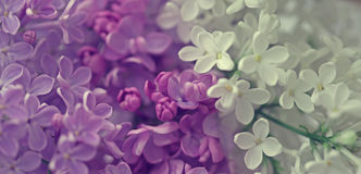 Абстрактная флористическая предпосылка сирени весны Стоковое Изображение RF